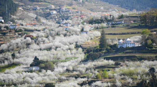 Município promove visitas guiadas pela Rota das Cerejeiras em Flor