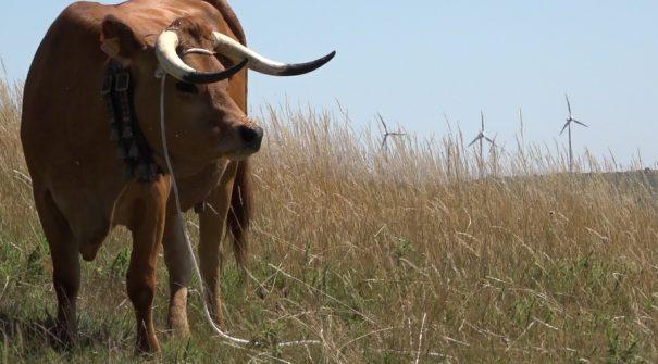 Município atribui incentivos aos produtores de gado